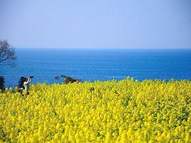九州最大規模2000万本の菜の花畑!「長崎鼻リゾートキャンプ場」