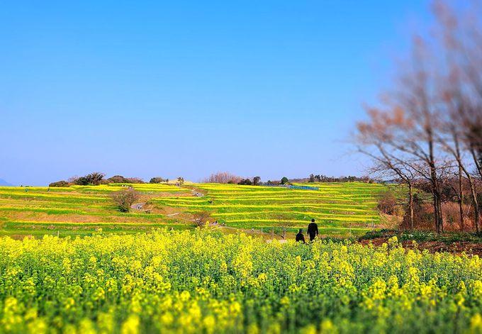 周囲の畑は菜の花一色