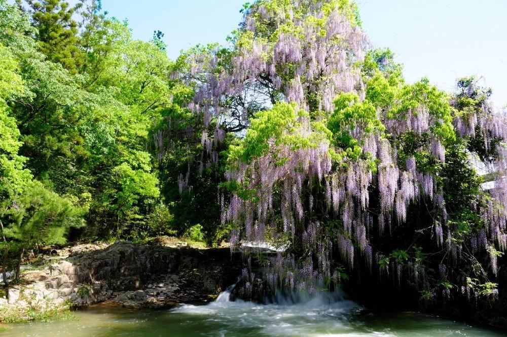 まさしく自然の美「一貫野の藤」〜山口市仁保