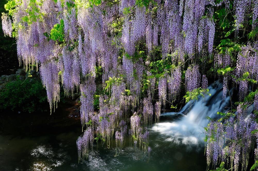 自然との調和に心も和む!山口・マニア好みの絶景藤巡り