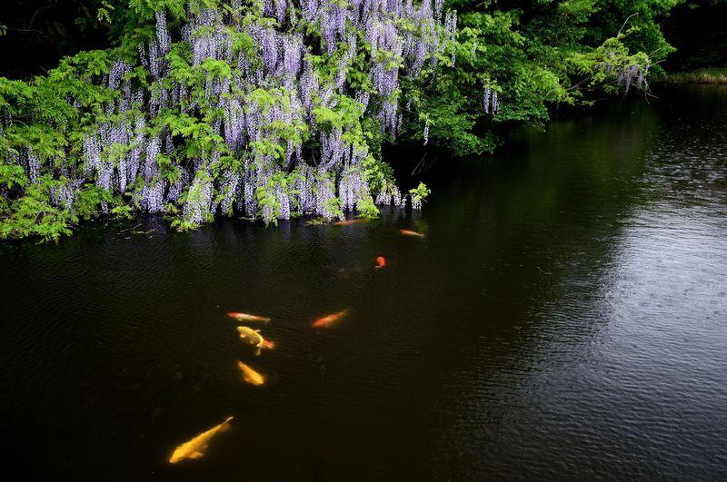 藤の下で優雅に泳ぐ鯉を楽しむ「川棚温泉・妙青寺寺堤」〜下関市川棚