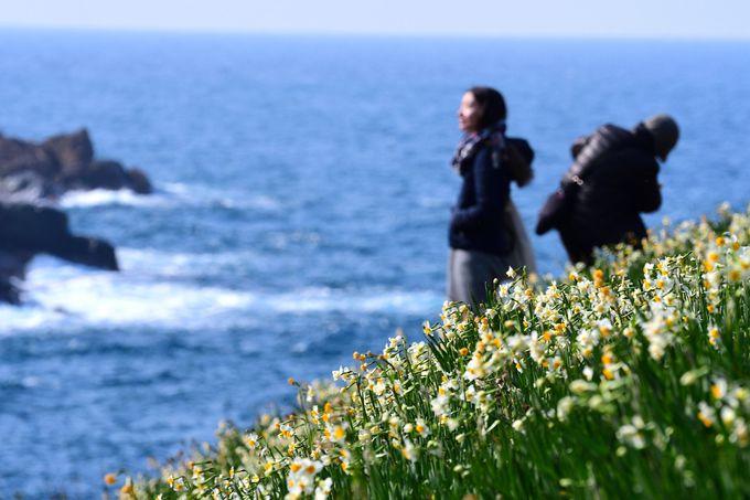 島根県「唐音水仙公園」日本海を見下ろす丘に咲く200万球のスイセン