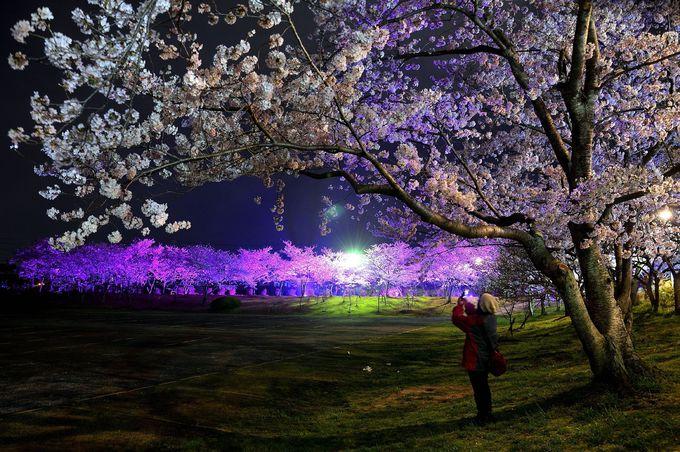 極上の夜桜を堪能!山口県さくらライトアップおすすめ3選