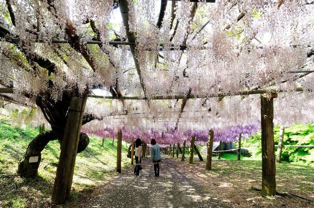 どこを歩いても藤の花。