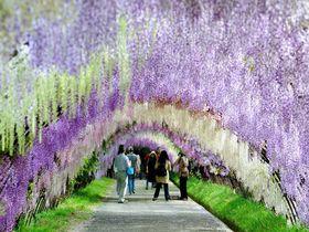 目を奪われる絶景!北九州市「河内藤園」の藤棚が世界中で話題