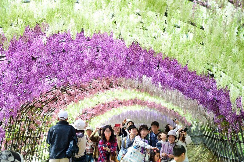 目を奪われる絶景として世界中で話題!北九州市「河内藤園」の藤棚