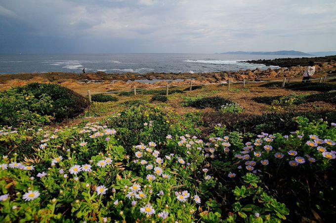 初夏にはハマユウ、秋にはダルマギクもみられる角島