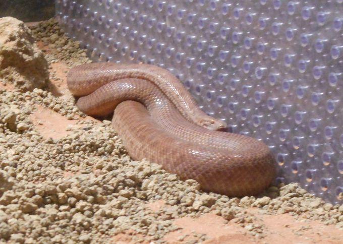希少な種類!アリヅカニシキヘビ。