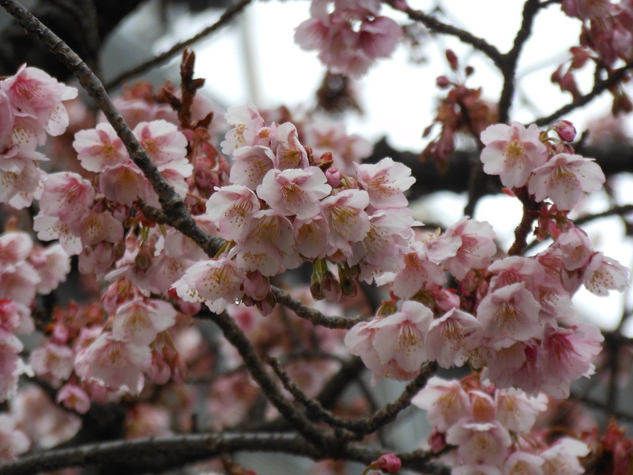 本州で最も早く咲く桜「あたみ桜」で春を先取り