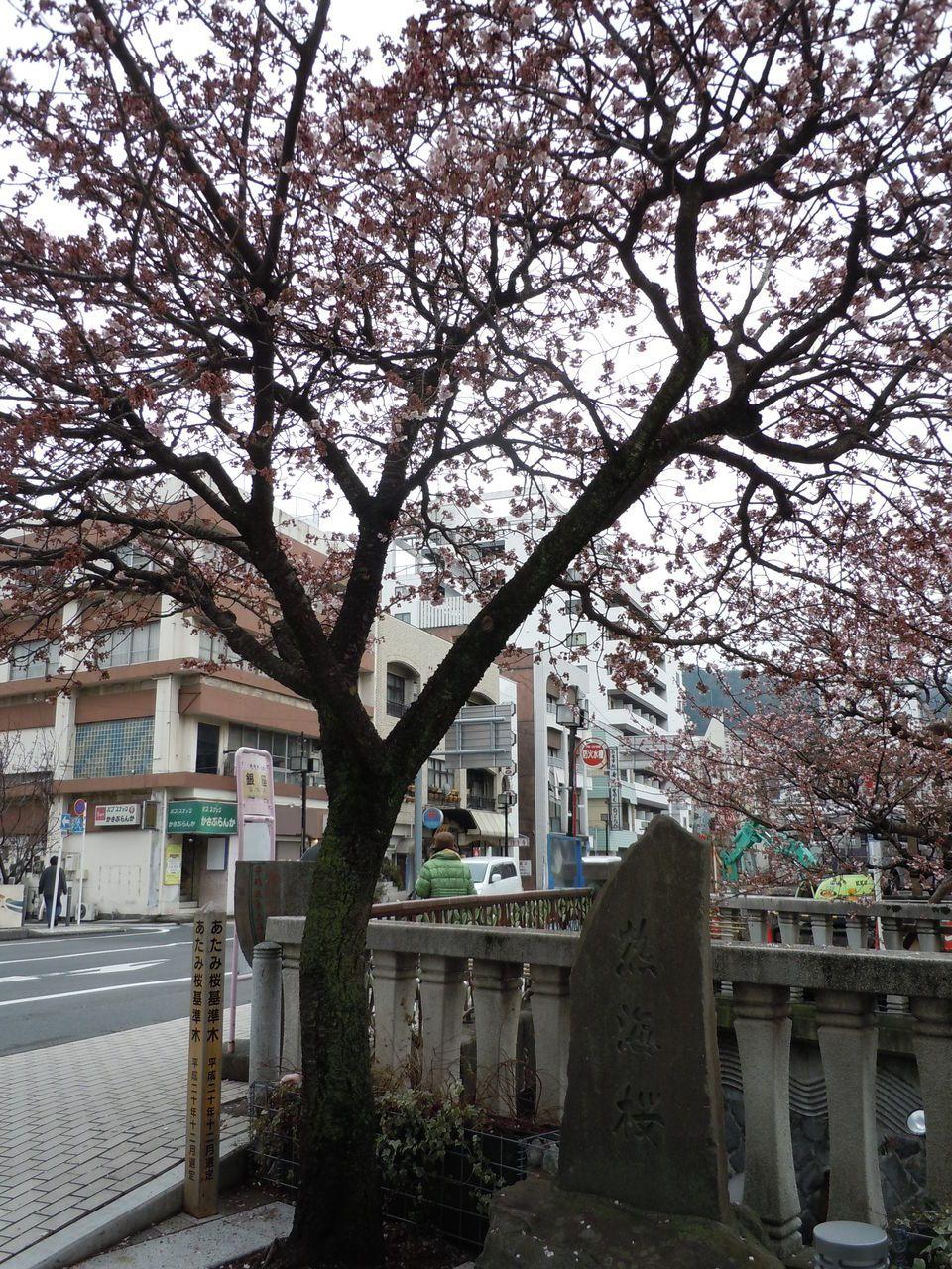 この木のあたみ桜の開花が、基準です