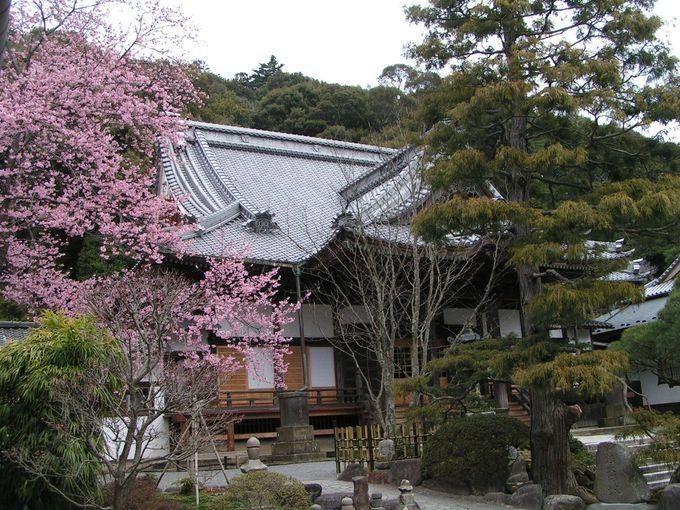 春爛漫な寒桜