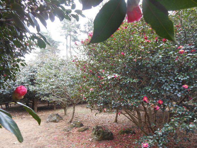 椿の木がたくさん
