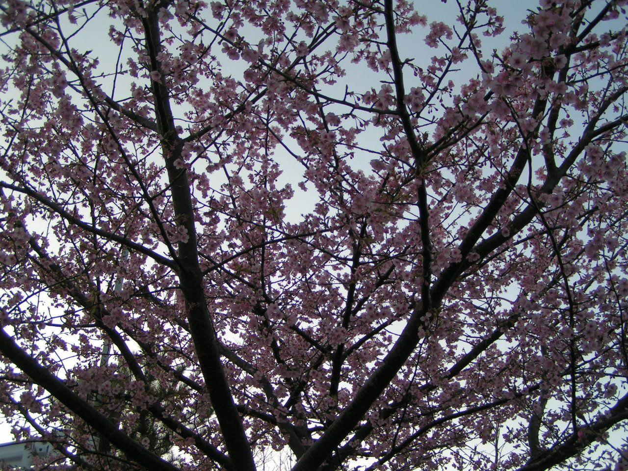 おおかん桜がお出迎え