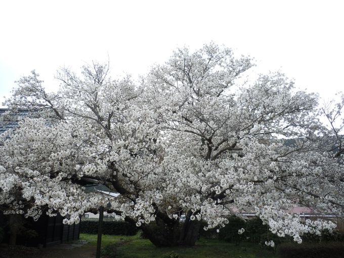 見応えのあるともえ桜