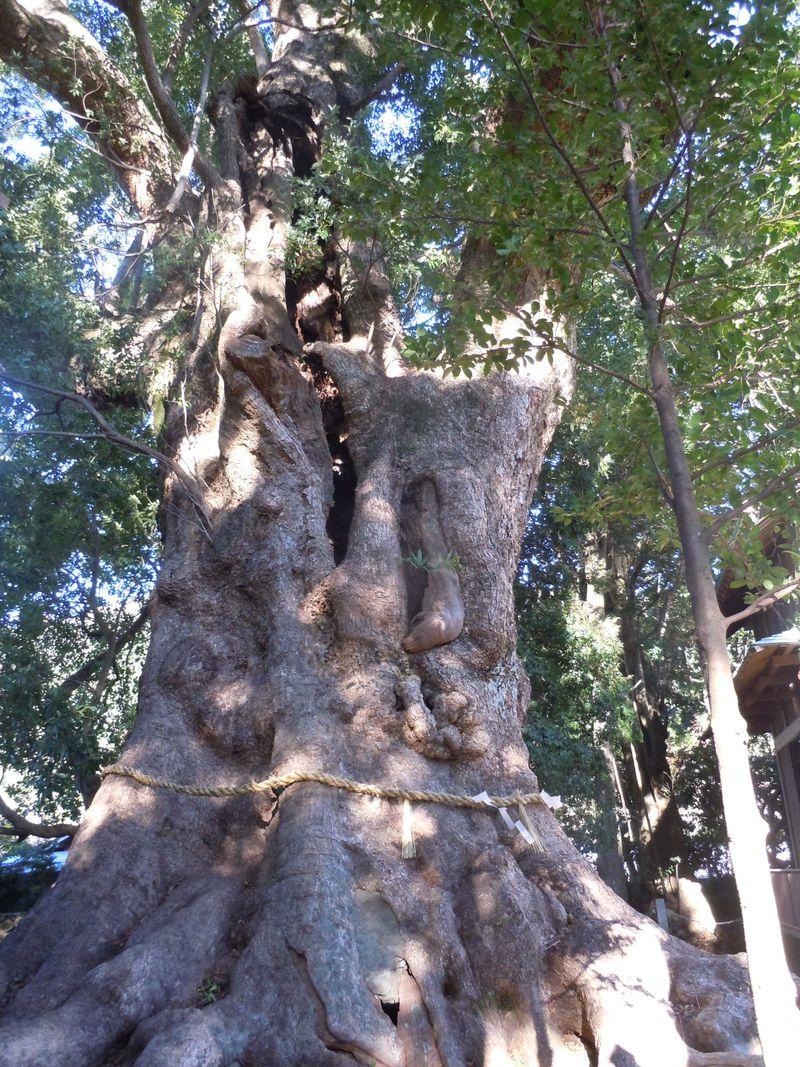 樹齢千年を超える神秘の宿木!伊豆・河津町「来宮神社」で生命力を体感