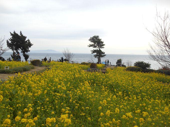 日本一早い春?!伊豆四季の花公園「城ケ崎桜まつり」