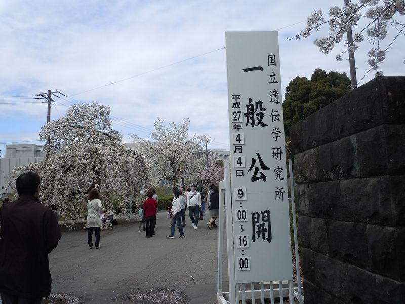 7時間限定の花見スポット!静岡県三島市「国立遺伝学研究所」