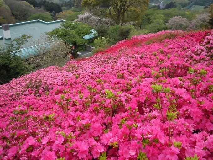 7万5千株のつつじは圧巻「姫の沢公園」で自然を満喫