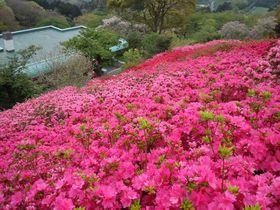 7万5千株のつつじが咲く!熱海・姫の沢公園「花まつり」|静岡県|トラベルjp<たびねす>