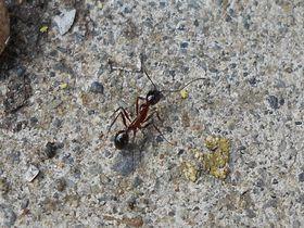 蟻コレクター必訪!南伊豆町伊浜の新種「イハマアシナガアリ」を探せ|静岡県|トラベルjp<たびねす>