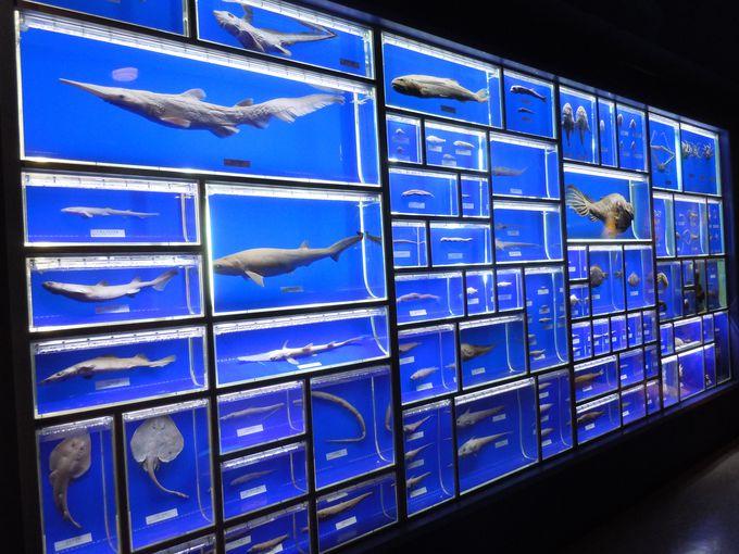 未知のゾーンに迫る!開館以来採集した深海生物標本