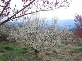 1500本の梅が咲き誇る!伊豆・月ヶ瀬梅林「梅まつり」|静岡県|トラベルjp<たびねす>