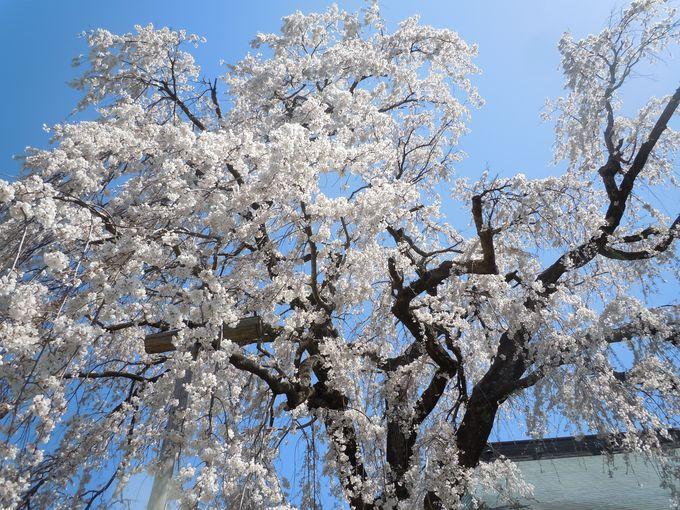 幽玄優美!龍源院の「枝垂れ桜」