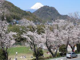 名物の枝垂れ桜から伝説の美女桜まで!伊豆の国市の桜名所3選|静岡県|トラベルjp<たびねす>