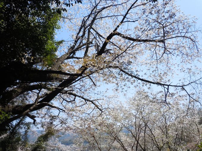 一度は見たい!伝説に因んだ「幻の美女桜」