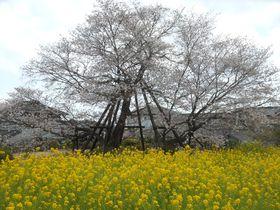 日本五大桜・狩宿の下馬桜で春の宴を堪能!富士宮市「狩宿さくらまつり」|静岡県|トラベルjp<たびねす>
