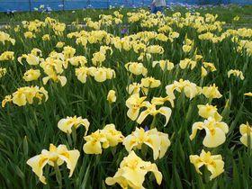 60種類約1万2千株が咲き誇る!伊豆「かわづ花菖蒲園」|静岡県|トラベルjp<たびねす>
