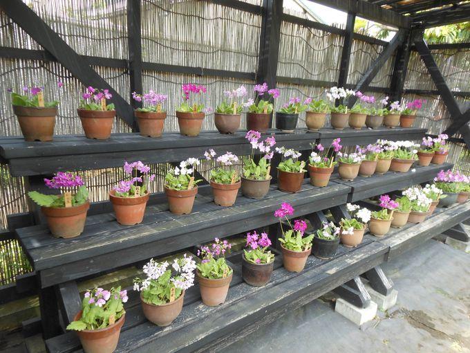 見比べも楽しめる!種類豊富な桜草の展示