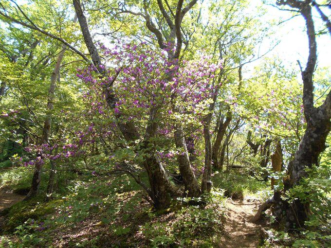 世界に知らしめた植物学者が命名!ここだけの限定種「アシタカツツジ」