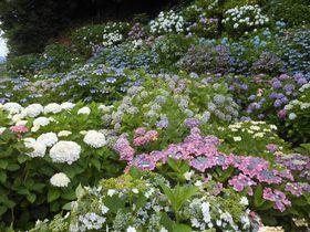 定番スポットから新名所まで!伊豆エリアの紫陽花の見所まとめ|静岡県|トラベルjp<たびねす>