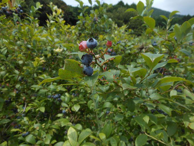 まるで森の宝石!自然のままに実る、美しきブルーベリー