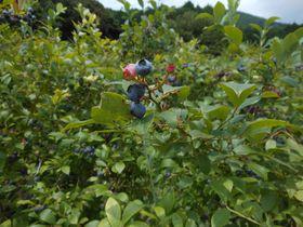 夏限定!伊豆の秘境でフルーツ狩り「河津ブルーベリーの里」|静岡県|トラベルjp<たびねす>