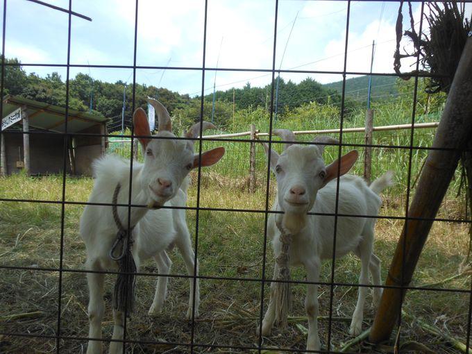 ちびっ子に大人気!思わず癒される「ヤギさんのミニ牧場」