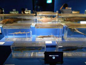 世界有数の深海魚を展示!沼津市戸田「駿河湾深海生物館」|静岡県|トラベルjp<たびねす>