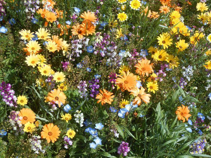無料で楽しめる!GW期間限定開催・伊豆のお花摘み