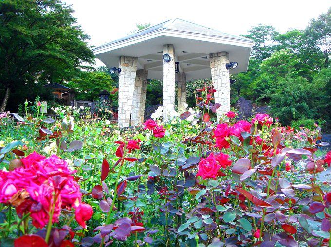「強羅公園」ローズガーデンであなた好みのバラを探して!