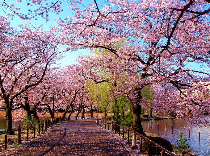 ご覧下さい!!これが本当に上野公園?!桜の名所を独り占めしてお花見♪