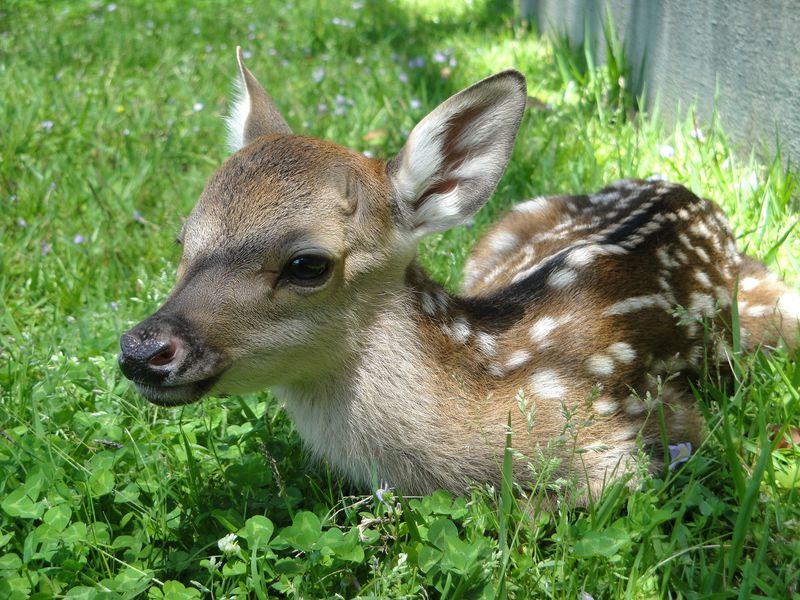 奈良でキュン♪今シカ会えない!鹿苑「子鹿公開 赤ちゃん鹿大集合」