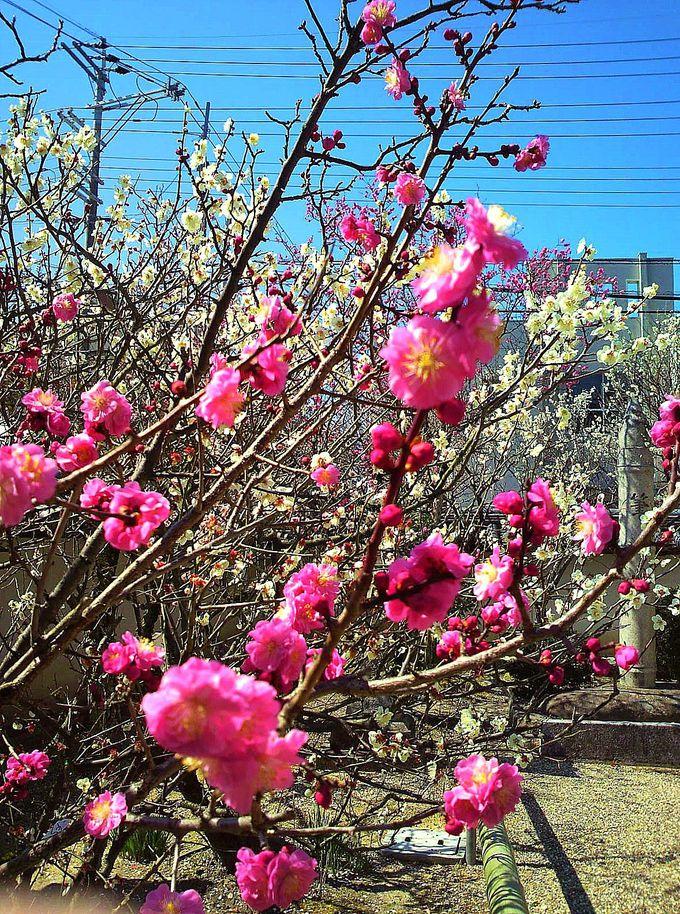 紅梅と白梅が咲き乱れる梅の名所!奈良の「菅原天満宮」