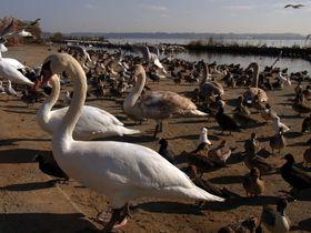 天然温泉と人懐っこい白鳥にビックリ!ゆっくり地酒の飲み比べが嬉しい茨城「かんぽの宿・潮来」|茨城県|トラベルjp<たびねす>