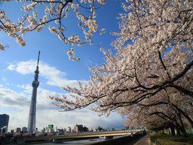 東京・隅田川 桜橋・桜餅…縁結びだって!大川端の桜づくし