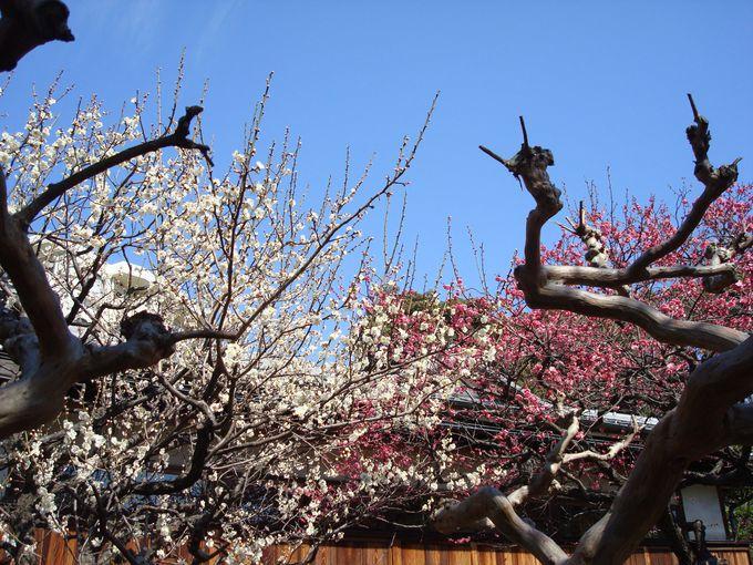 「向島百花園」百花に魁ける梅!