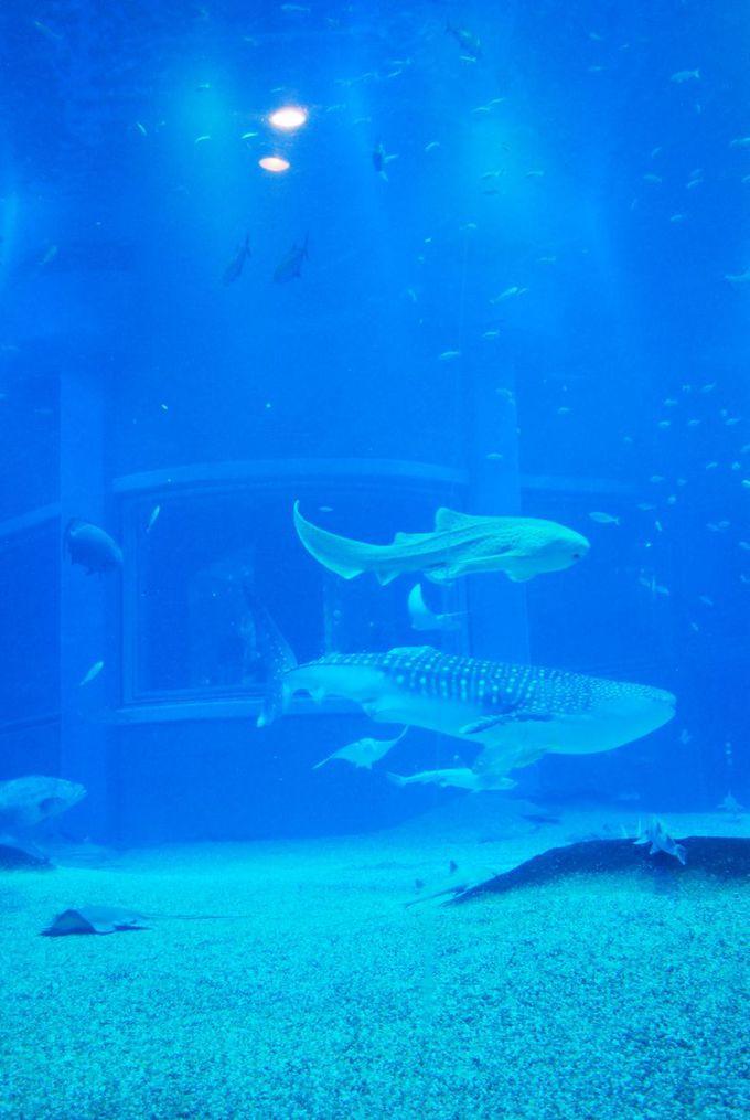 世界最大級の水槽で優雅に泳ぐジンベエザメは、やはり圧巻。