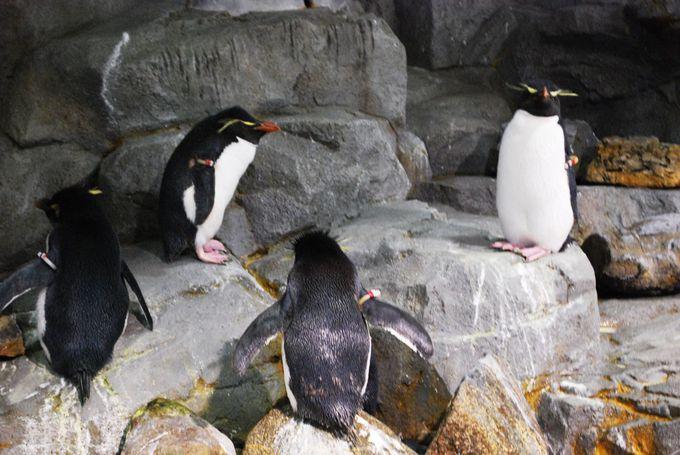 飛び出してきそう!低すぎるパネルの向こうにイワトビペンギン。