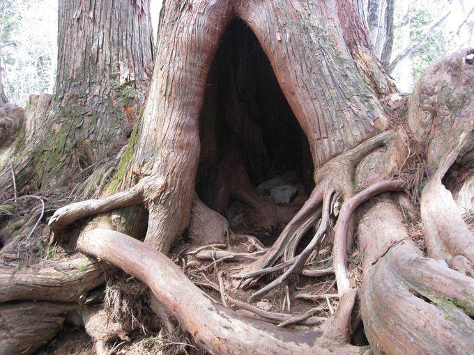 荘厳なる杉並木
