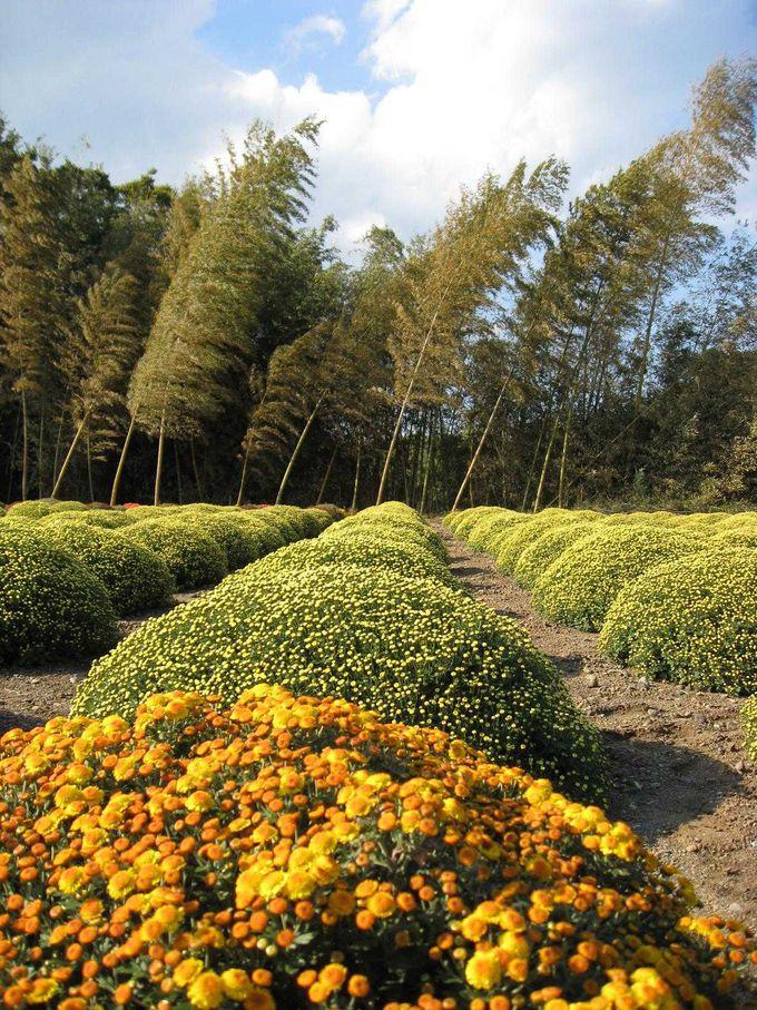 11月ならば、珍しい「ざる菊」が咲く善波邸へ